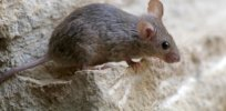 1-29-2018 are-mice-blind-feature