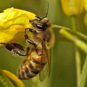 bee oilseed rape c flpa rex shutterstock rexfeatures a x