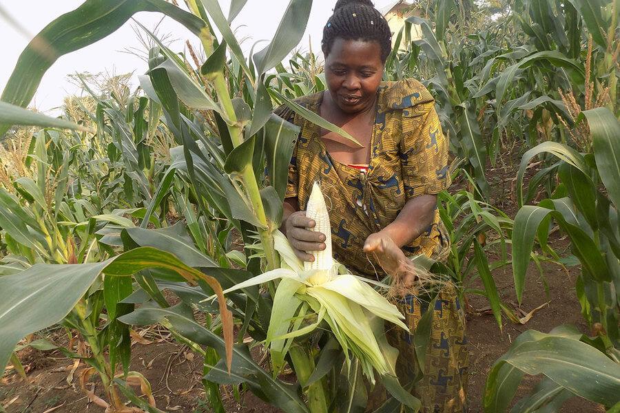 Uganda corn farmer 32423