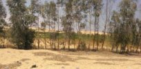 Egypt develops high-yield arid-resistant GMO wheat but activist opposition blocks biotechnology advances