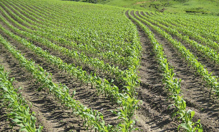 field crop x
