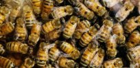 Herbicides and fungicides could be key factors in bee health problems, study finds