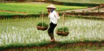 GMO rice China 76944