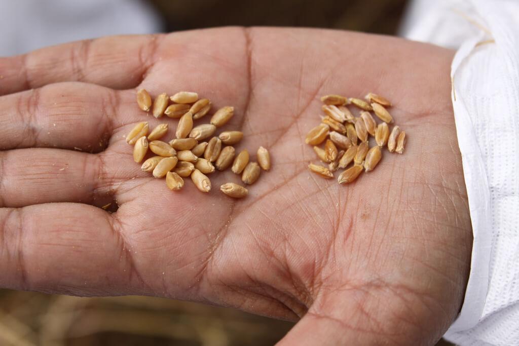 Video: New strain of wheat stem rust in Uganda could wreak havoc on world's breadbaskets