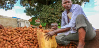Blight-resistant GMO potatoes could reduce pesticide use in Uganda
