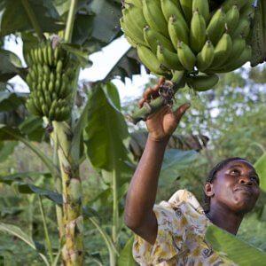 uganda banana farmer 3432