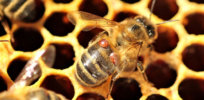 Tackling bees' greatest threat: Lithium chloride could kill Varroa destructor mites without harming bees