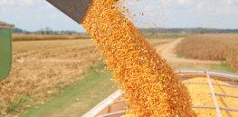 GMO corn yield 834443