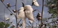 How African nations expect to learn from Burkina Faso's GMO Bt cotton breeding problems