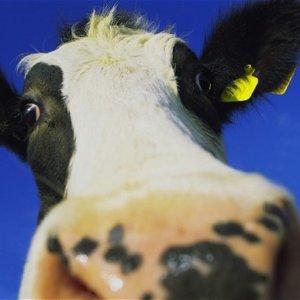 freisan cow b