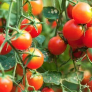 genetic engineering tomato plants x