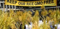 Viewpoint: Misguided activism imperils potential of golden rice