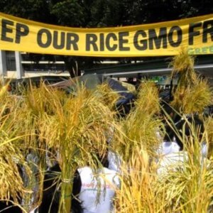 greenpeace GMO golden rice 3237