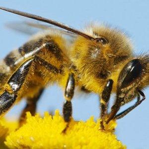 Australia honey bees 8432743