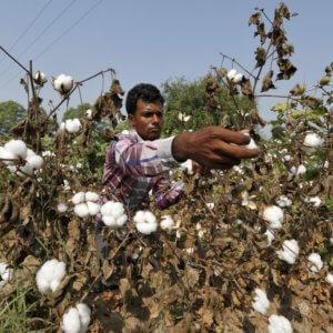 India GMO cotton 438473