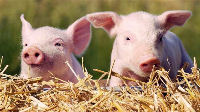 piglets today tease a c b ccf c b f today inline large