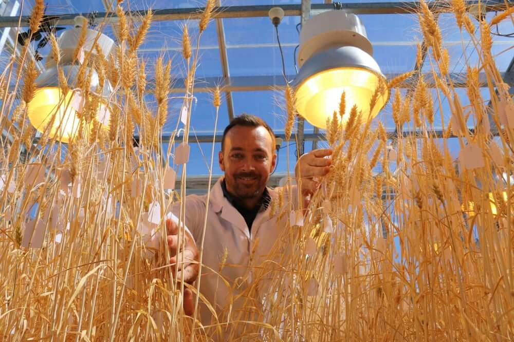 Speed breeding: Researchers show wheat, canola and other key crops can be bred 6 generations per year