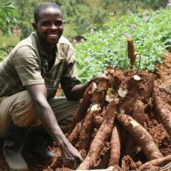 Once 'misinformed and misled' about GMOs, Ugandan farmers eager to grow disease-resistant cassava