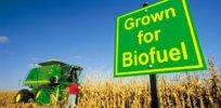 biofuel crops GMO 474399