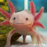 The regenerating axolotl: What can we learn from its giant genome?