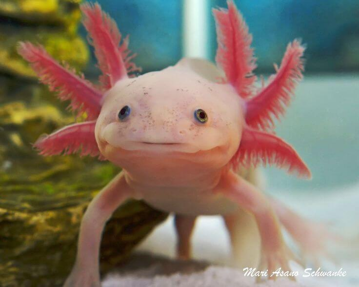 f b ce f b c e a axolotl pet strange animals