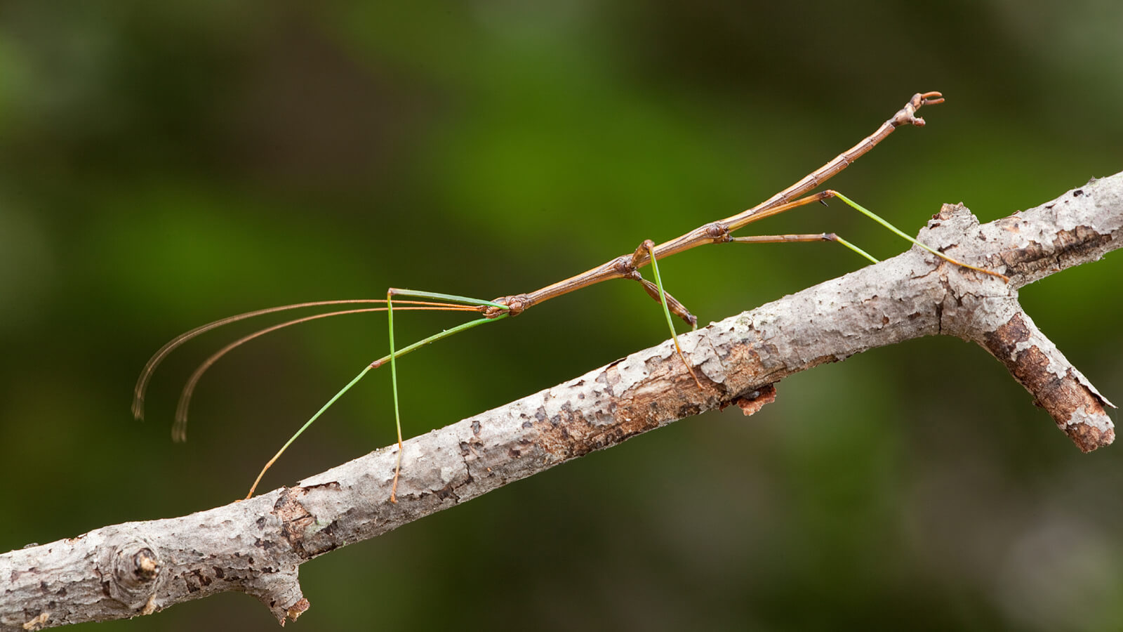 stick insect branch ngsversion