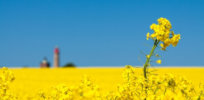 Australia approves GMO canola high in omega-3 fatty acids for human consumption and animal feed