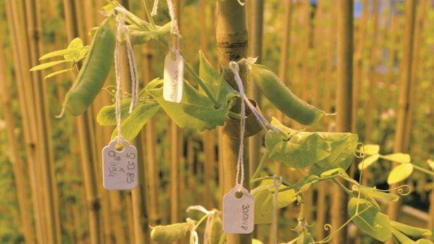 Breeding work in peas c no credit x