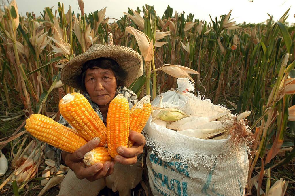 gmo corn farmer 93327