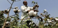 India Monsanto GMO bt cotton 82332