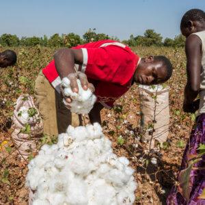 Burkina Faso GMO cotton 4327
