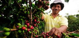 arabica coffee genetic 83247