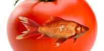 GMO tomato fish gene 8327432