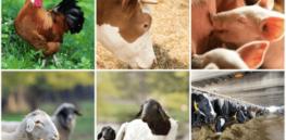 livestock food animal crispr gene edit genetics 843277