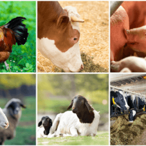 livestock food animal crispr gene edit genetics 843277