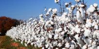 GMO cotton 4328834
