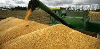 gmo corn 83273