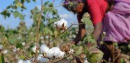 cotton india 784327