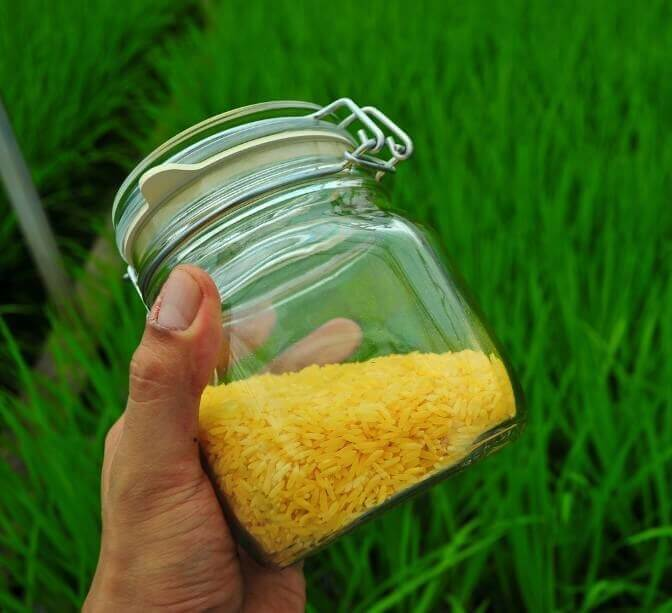 gmo golden rice 834223
