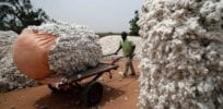 burkina faso cotton gmo bt 8237399