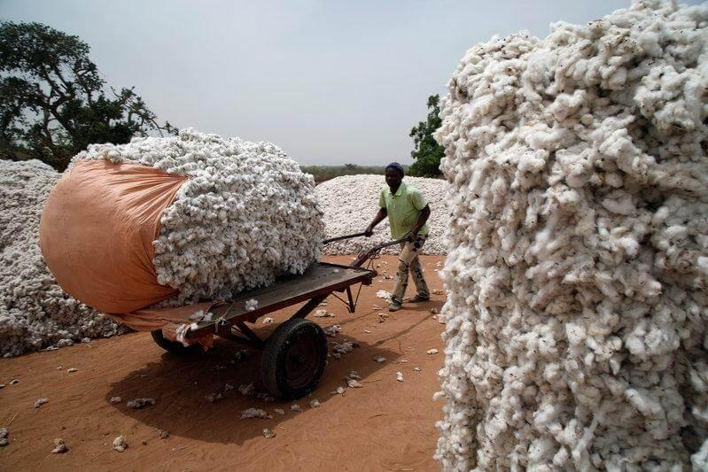 burkina faso cotton gmo bt 8237399