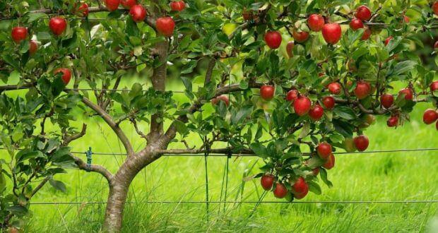 apple tree 8238