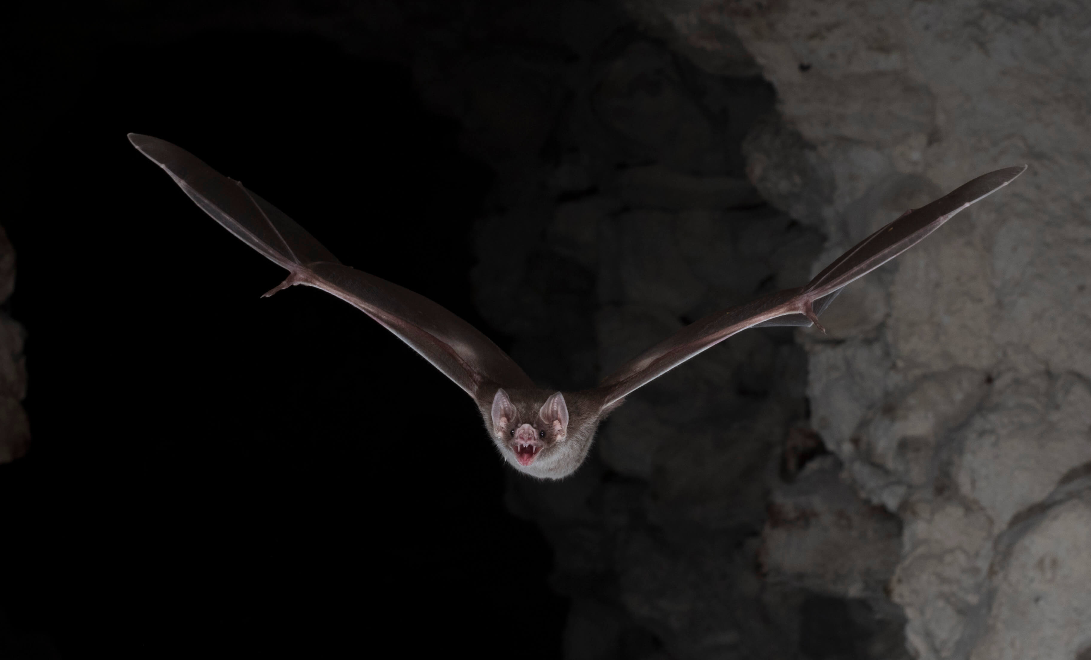 How The Vampire Bat Came To Feed On Blood  And What We Can