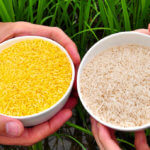 Golden Rice: The GMO crop Greenpeace hates and humanitarians love