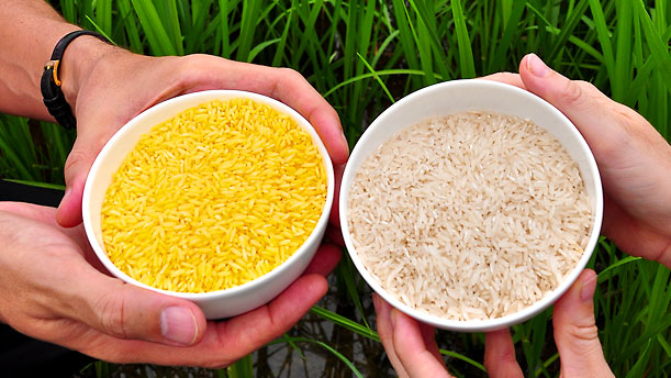 Golden Rice: The GMO crop Greenpeace hates and humanitarians