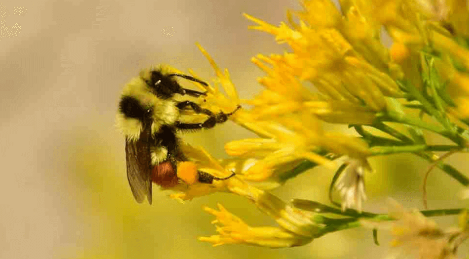 hunts bumblebee blogheader Tom Koerner USFWS fw x e