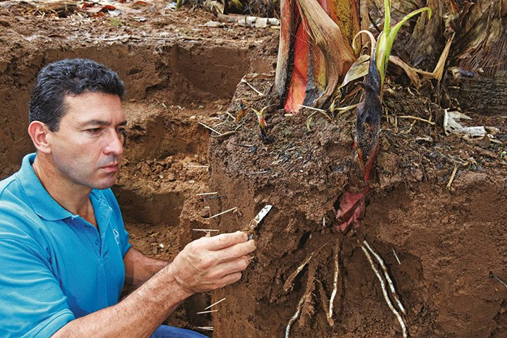 rodolfo solis banana plant roots