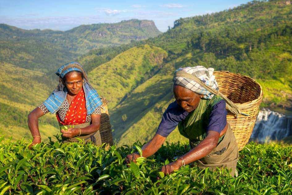 Sri Lanka tea glyphosate herbicide 43727