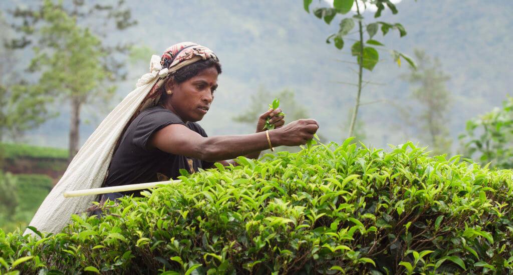 tea farmer plucking tea leaves e