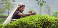 Sri lanka tea glyphosate herbicide 32737228